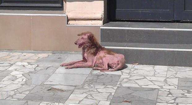 Фараонско куче - Герго