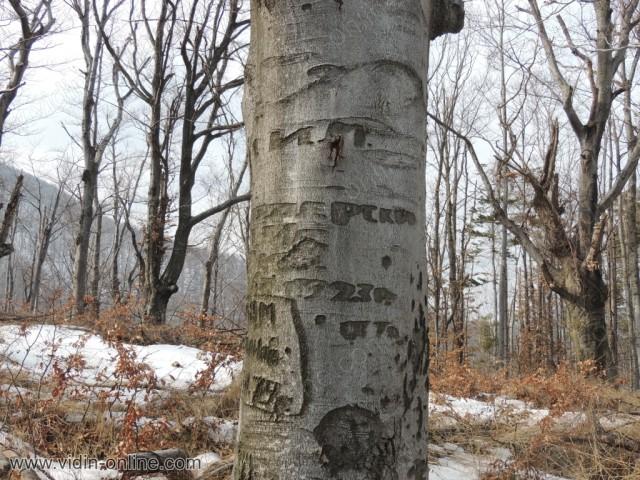 Войнишки белези по дърветата