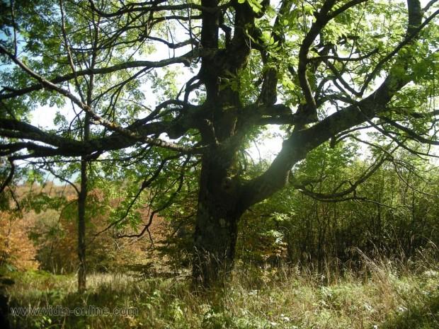 Дърво Ясен