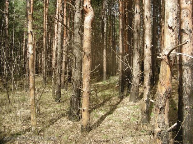 Радослав Николов, директор на ДГС-Видин: Изсъхване основно на иглолистните дървесни видове се наблюдава през последните пет години