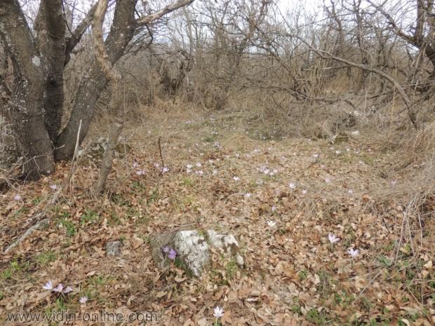 Булгарикус ерантис