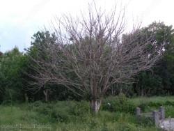 Хартиеното дърво